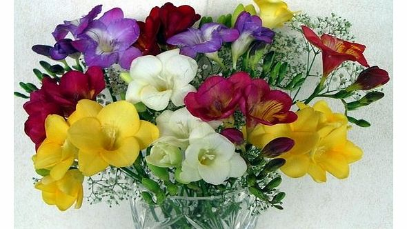 15 Freesias with gypsophilia from Guernsey 15 Beautiful Long Stemmed Freesias with Gypsophilia.
