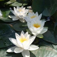 Anglo Aquatic White Lily - White Virginalis Nymphaea (Live