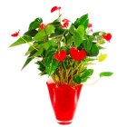 Arena Flowers Red Anthurium Plant