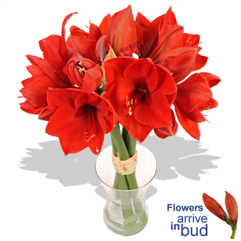 BRILLIANT Red Amaryllis Bouquet - flowers