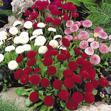 Bedding plant collection pack of 60
