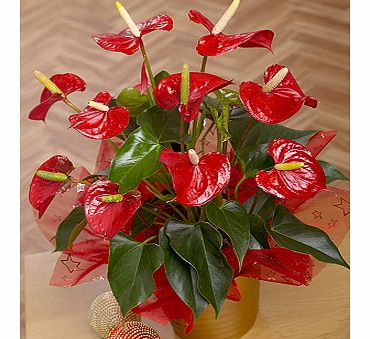 Bunches.co.uk Christmas Anthurium Plant XANTH