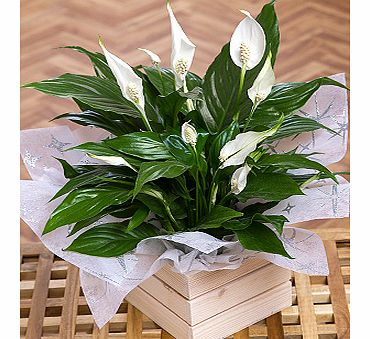Bunches.co.uk Christmas Peace Lily XPPLC