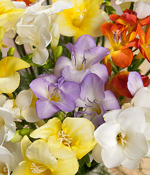 Bunches.co.uk Fragrant Freesias XL FF30