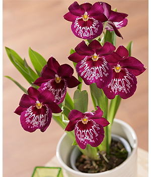 Bunches.co.uk Miltonia Orchid Plant PMILP
