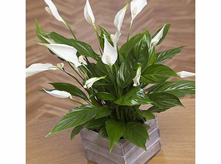 Bunches.co.uk Peace Lily in Mini Crate PLLYC