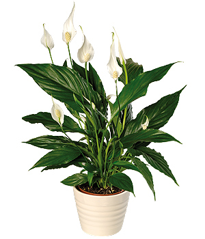Bunches.co.uk Peace Lily PPLP