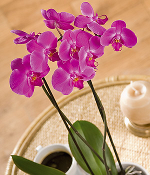 Bunches.co.uk Phalaenopsis Orchid PPHAP
