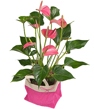 Bunches.co.uk Pink Flamingo Plant PANTHU