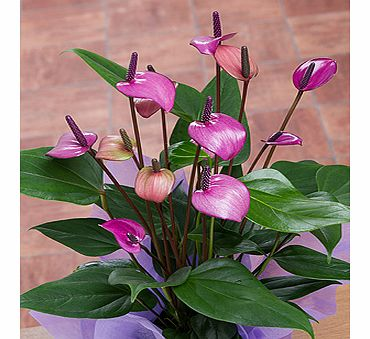 Bunches.co.uk Purple Anthurium in crate PACRT