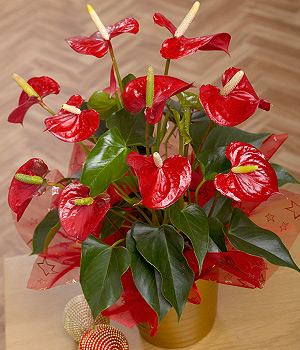 Bunches.co.uk Red Anthurium Plant XANTH