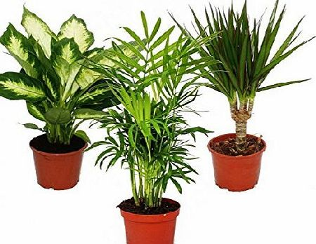 exotenherz Indoor plant mix II 3rd sets, 1x Dieffenbachia, 1x Chamaedorea (mountain palm) 1x Dracena marginata (dragons tree), 10-12cm pots, green plants set