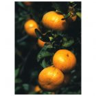 Fair Trade Media Mandarines Gift Tag - 10 pack