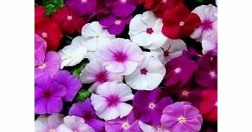 Just Seed - Flower - Vinca rosea - Cooler Mixed - 20 Seeds