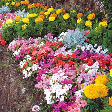 dip bedding plants pack of 40 easiplants