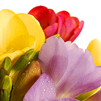 Hundred Freesias Bouquet - flowers