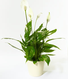 How to maintain your Aquatic Betta Garden/Peace lily