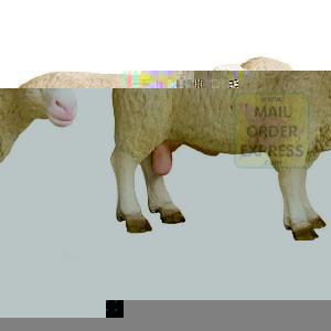 ram male sheep