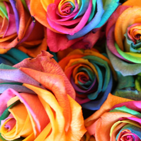 10 Happy Roses - the exclusive multi-coloured rose that is taking Europe by storm! Available exclusi
