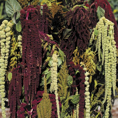 Unbranded Amaranthus Magic Fountains Seeds Average Seeds 450