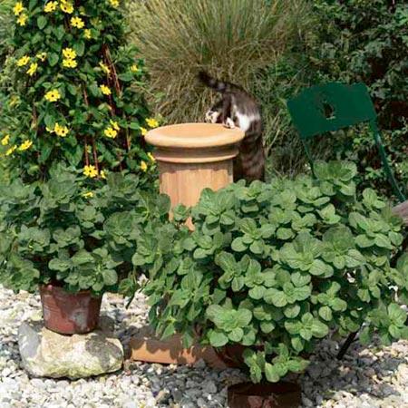 coleus canina scaredy cat plants pack   pot review