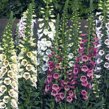 Unbranded Digitalis Camelot Mixed Plants Pack of 16 Plug