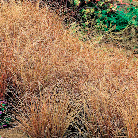 Unbranded Grasses Ornamental Buchananii (Carex) Pack of 3
