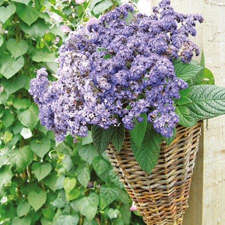 Unbranded Heliotrope Butterfly Blue Plants Pack of 12 Pot