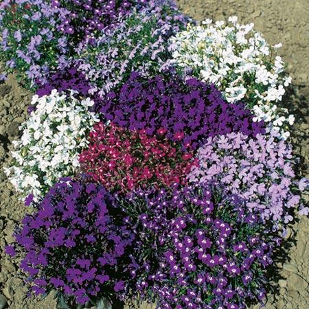 Цветок лобелия  выращивание из семян фото лобелии