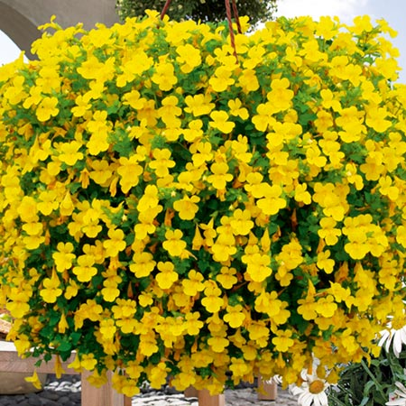 Mimulus vortex yellow plants pack of 5 pot ready review for Garden trees with yellow flowers