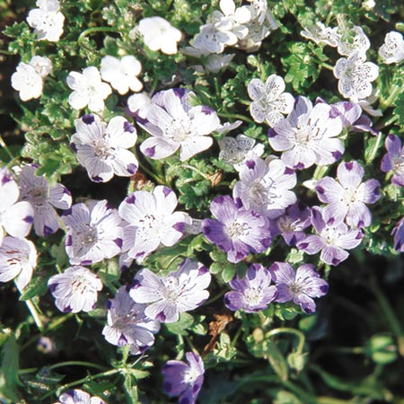 Unbranded Nemophila Blackcurrant Sundae Seeds Average
