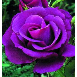 rhapsody in blue floribunda rose autumn pre review compare prices buy online. Black Bedroom Furniture Sets. Home Design Ideas