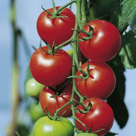 Unbranded Tomato Fantasio F1 Plants x 6 (late April) Pack