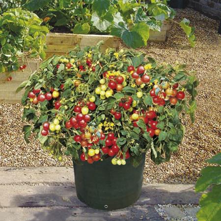 Выращивание помидор в домашних условиях видео